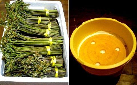 山菜採りは楽しいね♪ in 新潟県三条市(旧下田村)のとある場所にて