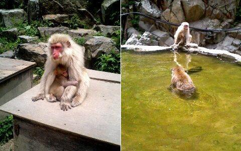 地獄谷野猿公苑 温泉に浸かるお猿さんに癒やされる♪