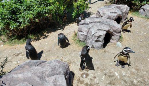 上越市立水族館「うみがたり」 かわいいペンギンが通路を横断してくるってホント?