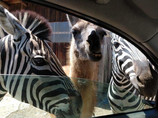 tohoku-safaripark06