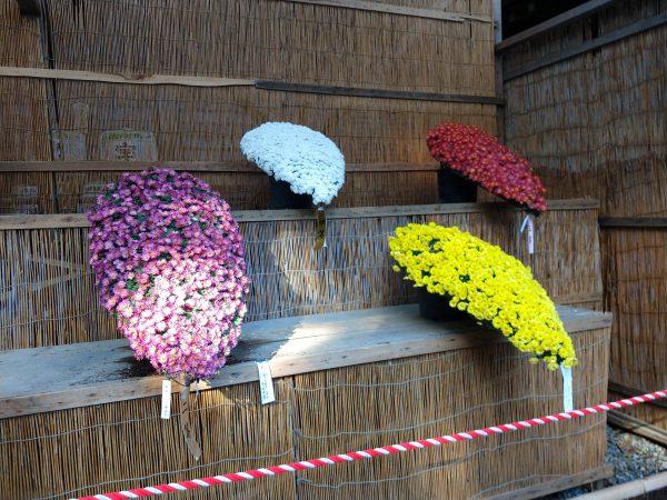 yahiko-shrine-kiku-matsuri (14)