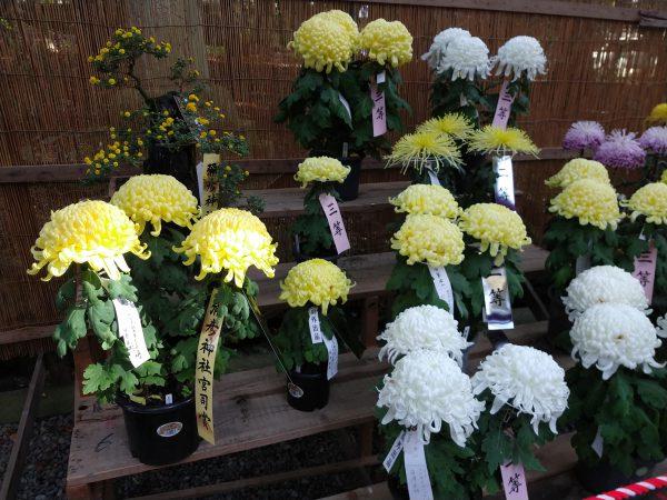 yahiko-shrine-kiku-matsuri (15)